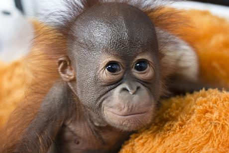 Red Ape Saving The Orangutan