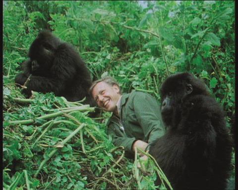 Attenborough and gorillas