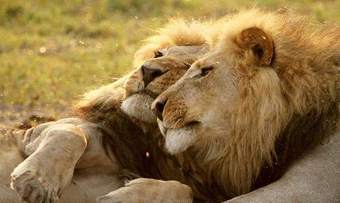 return-of-the-giant-killers-africas-lion-kings-natural-world