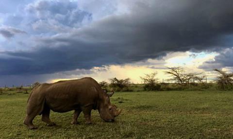 Sudan: The Last of the Rhinos